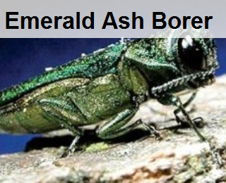 ash borer bug,emerald ash borer,ash tree prevention, ash tree treatment,ash bug